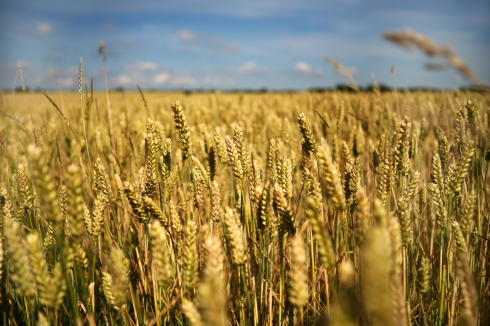 "Wheat fields always reminds me of a Woody Allen film, where Diane Keaton says ""Wheat, wheat. Fields of wheat."" Love & Death, I think..."